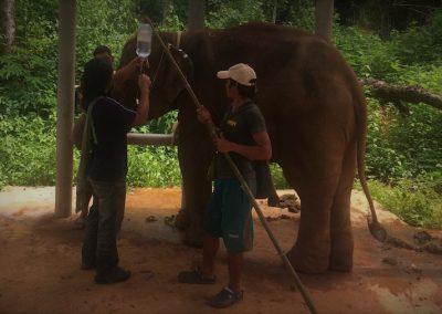 TONG BAI FOUNDATION: Ein Elefant kann geschwächt sein. Hier wird über das Ohr Sodiumchlorid zugeführt.